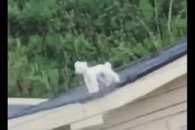 [VIDEO] Perro se vuelve viral en Chile al quedar atrapado en el techo de su casa... ¡La risa es contagiosa!